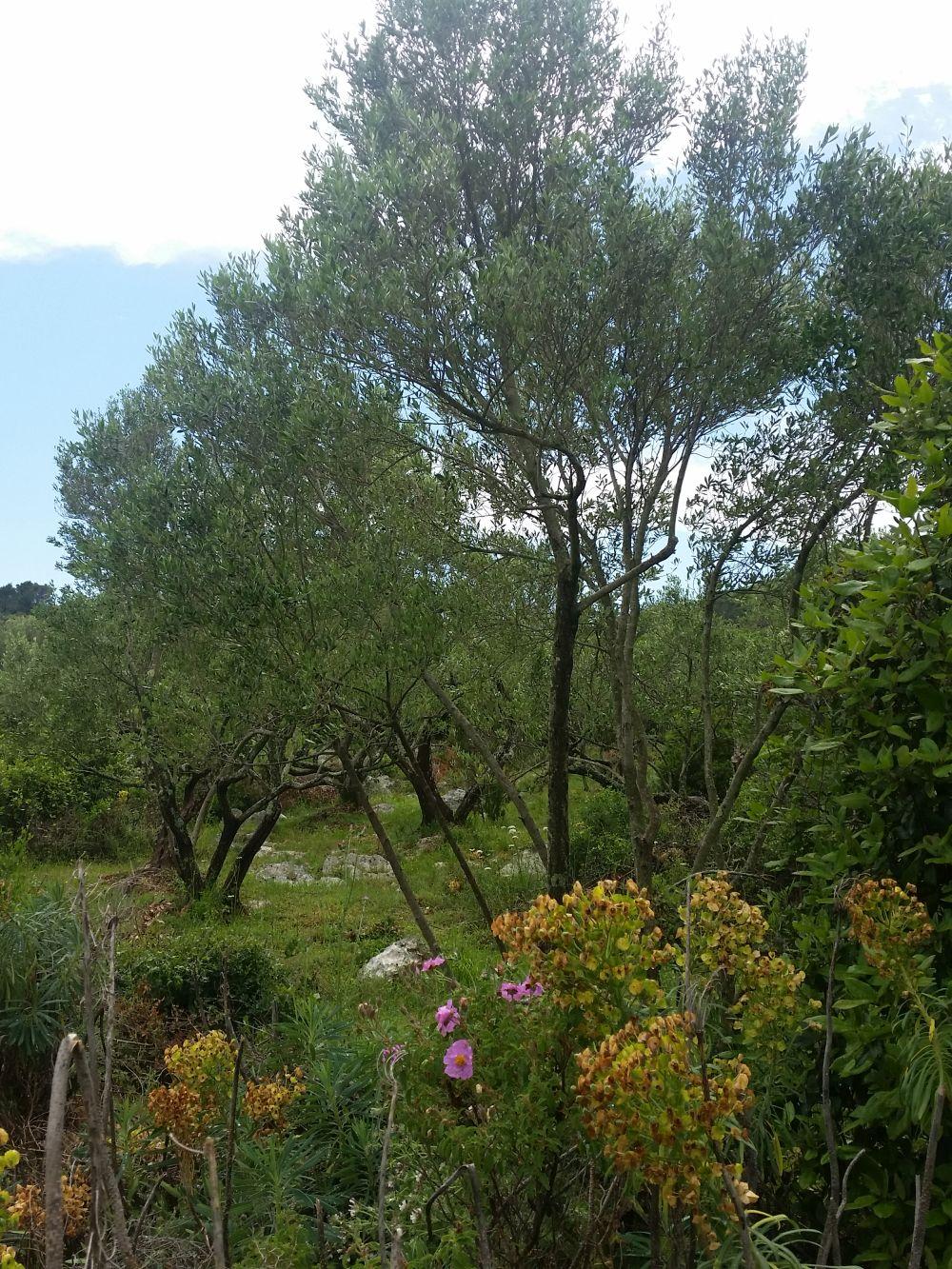 Dafür zu diesem Olivenhain - auch schön.