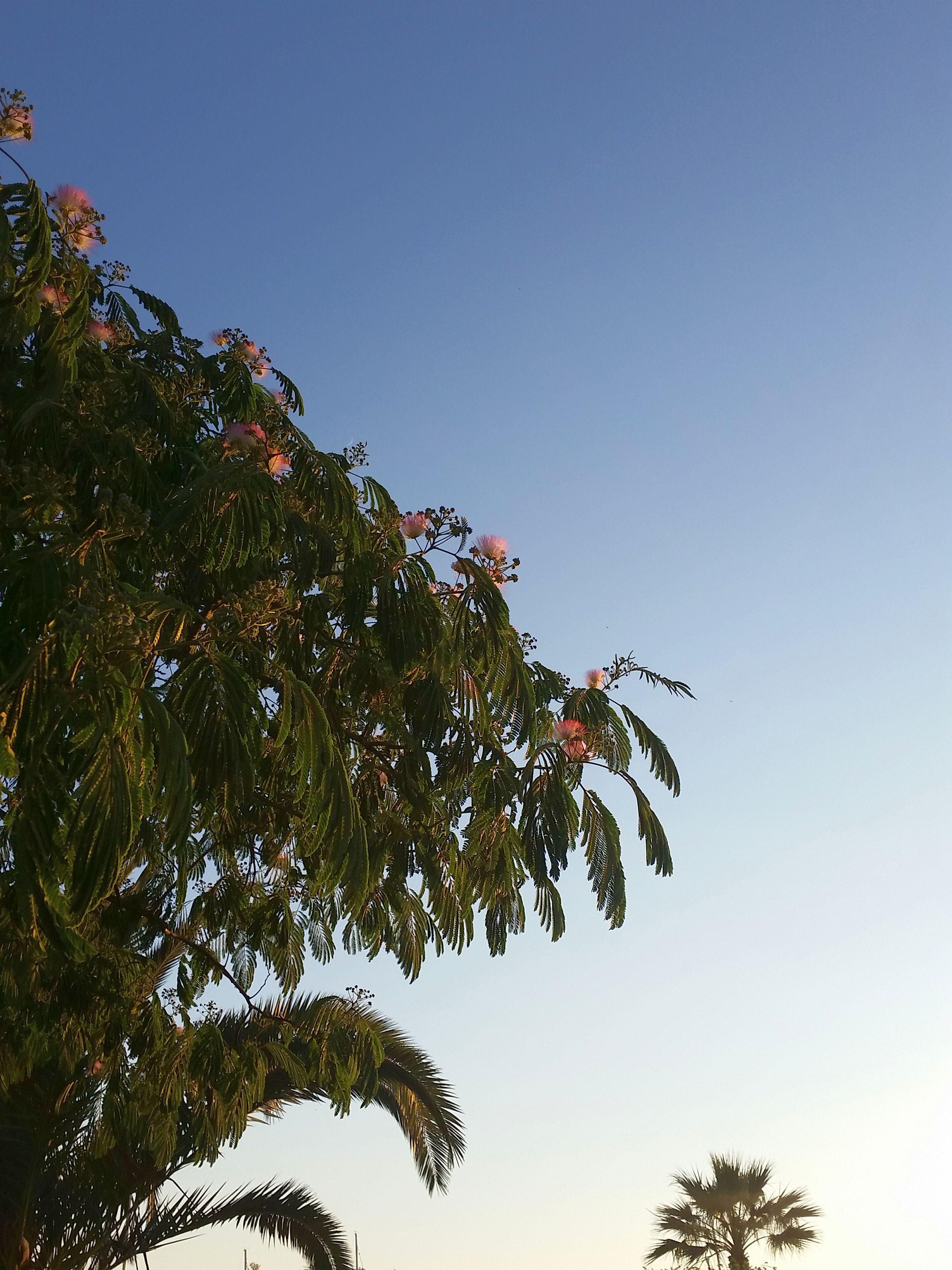 Püschel-Baum